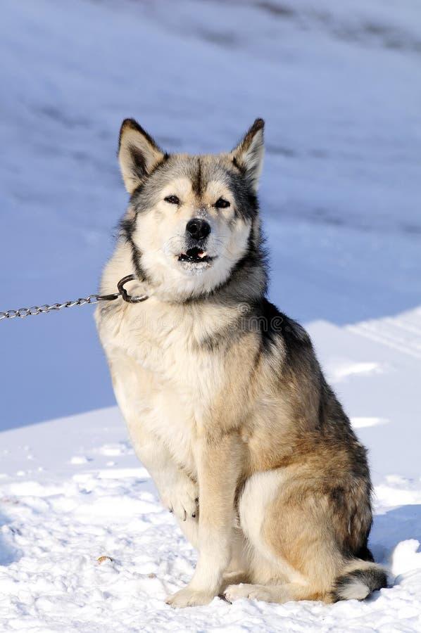 Download Dog stock image. Image of eyes, fierce, winter, staring - 12086417