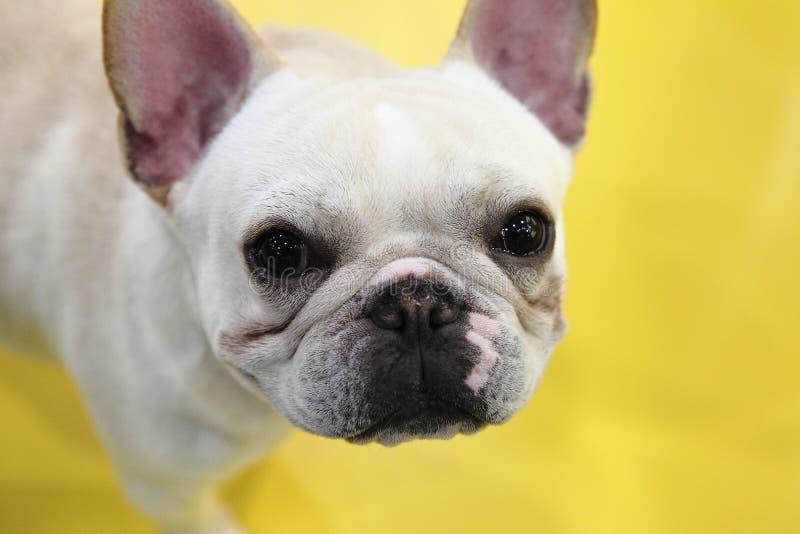 Download Dog stock image. Image of face, white, likable, eyes - 13476825