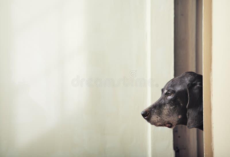 Download Dog stock image. Image of kurzhaar, home, corner, highbred - 14767887