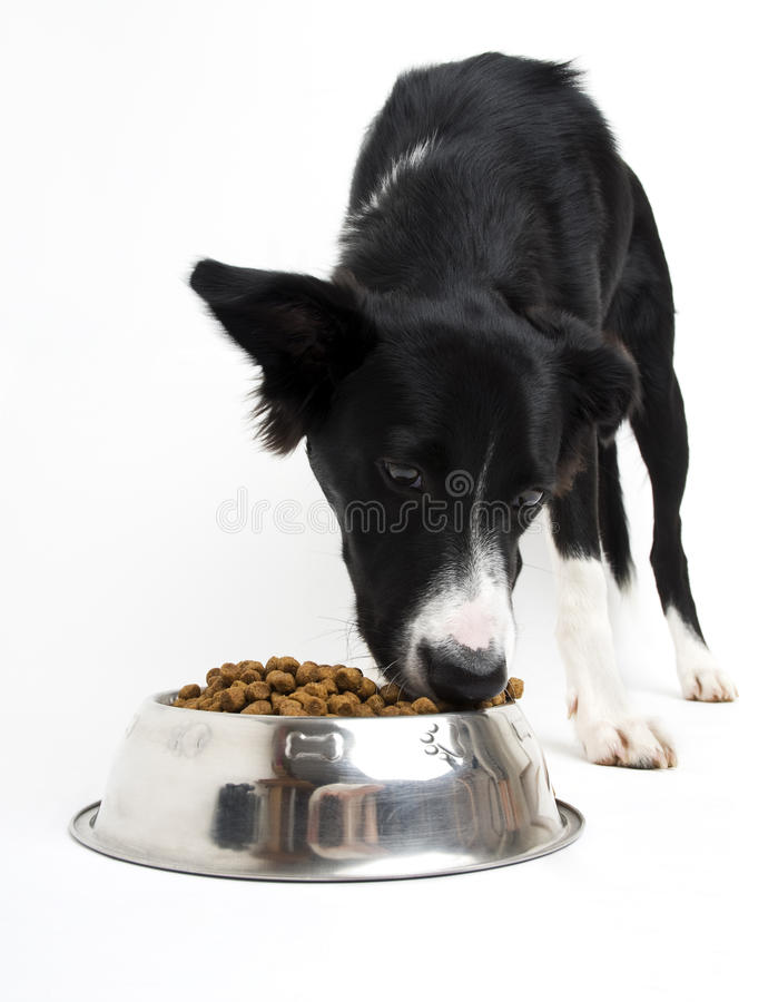 Dog. Young border collie eating food on white background close up royalty free stock photo