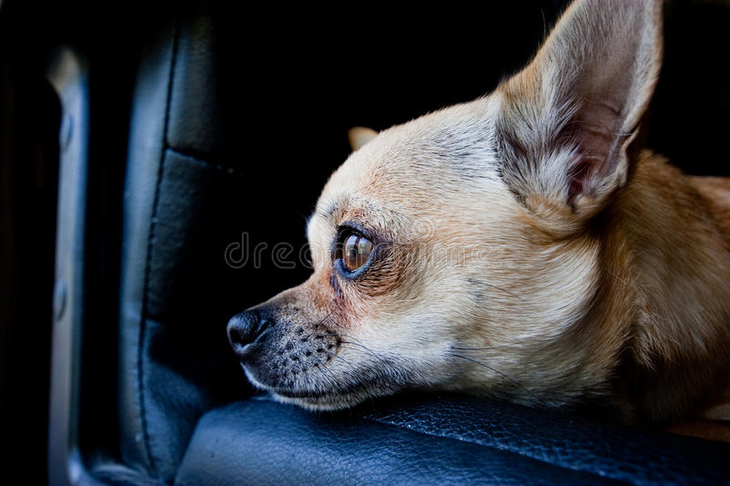 Download Chihuahua dog on chair stock image. Image of canine, face - 17274743