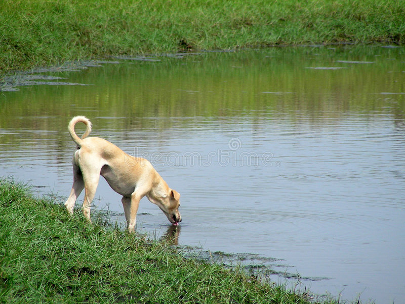 Dog. Trusty dog drinking cold and fresh water royalty free stock photos