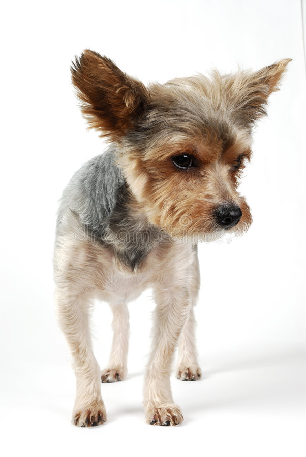 Download Dog stock photo. Image of close, nose, canine, terrier - 2114160