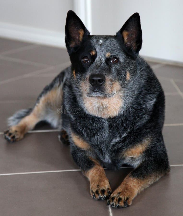 Download Dog stock image. Image of friend, portrait, heeler, inside - 22242195