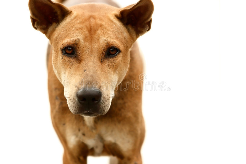 Dog. Isolated over white background. Focus on the eyes. Shallow depth of field stock image