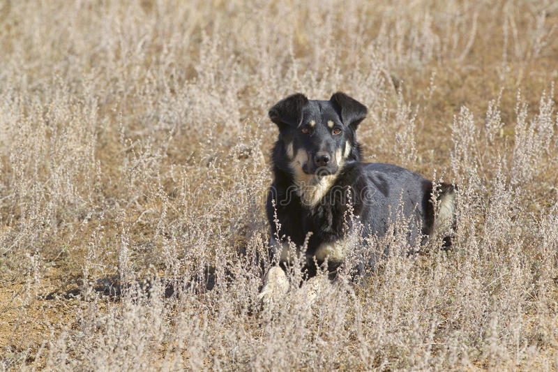 Dog. Mongolian black and brown shepherd dog, Mongolia stock image