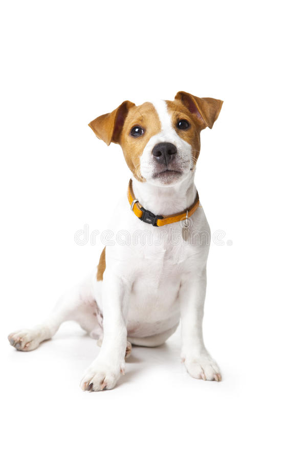 Dog. Jack Russell dog in front of a white background
