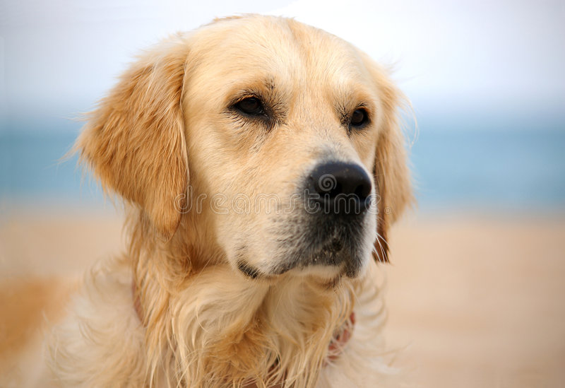 Dog. On the beach - golden retriever, close-up shot
