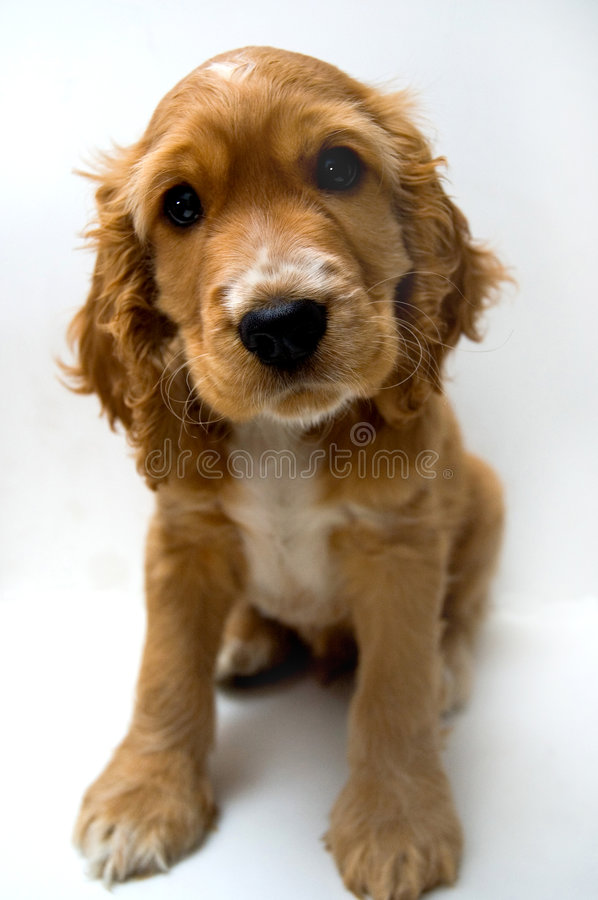 Dog. Natural animal pet dogs can be cute puppy English Cocker Spaniel
