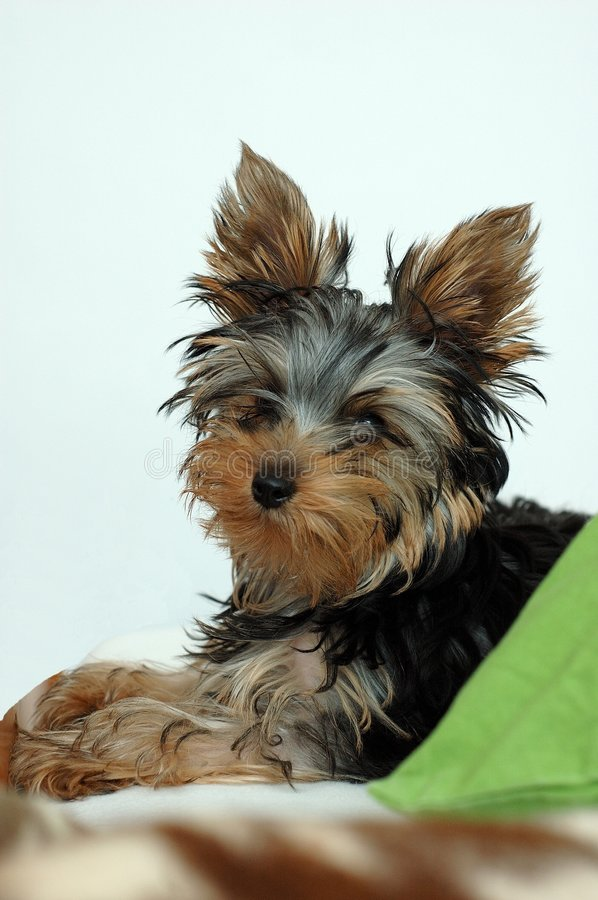 Dog. Lovely pet, yorkshire terrier. /Monty stock image