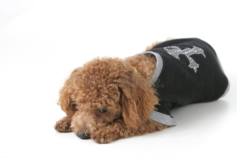 Download Dog stock photo. Image of poodle, mammal, lying, sober - 4420184