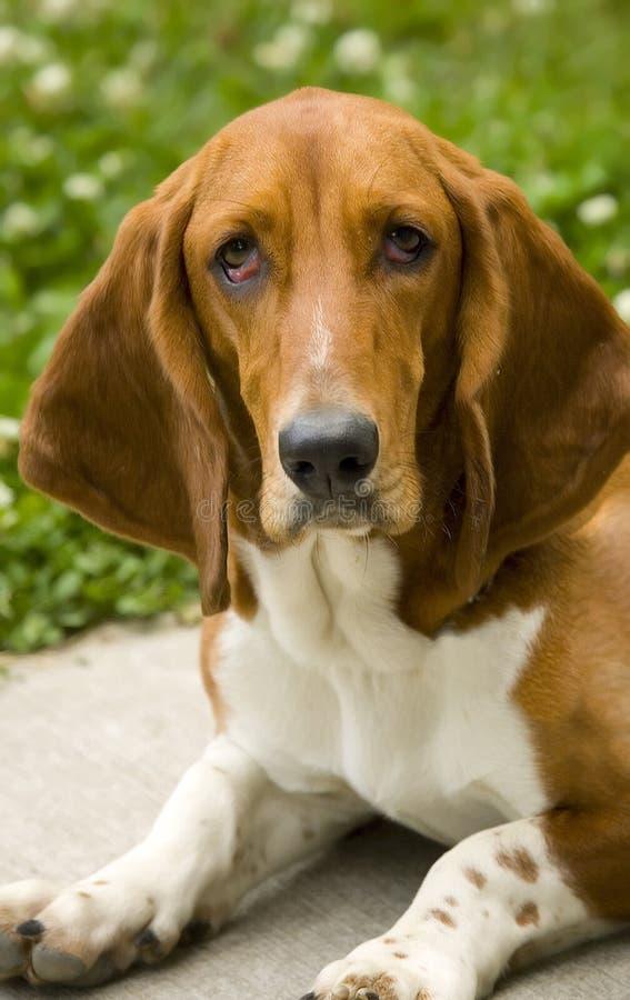Download Dog stock image. Image of adorable, purebred, sitting - 4686135