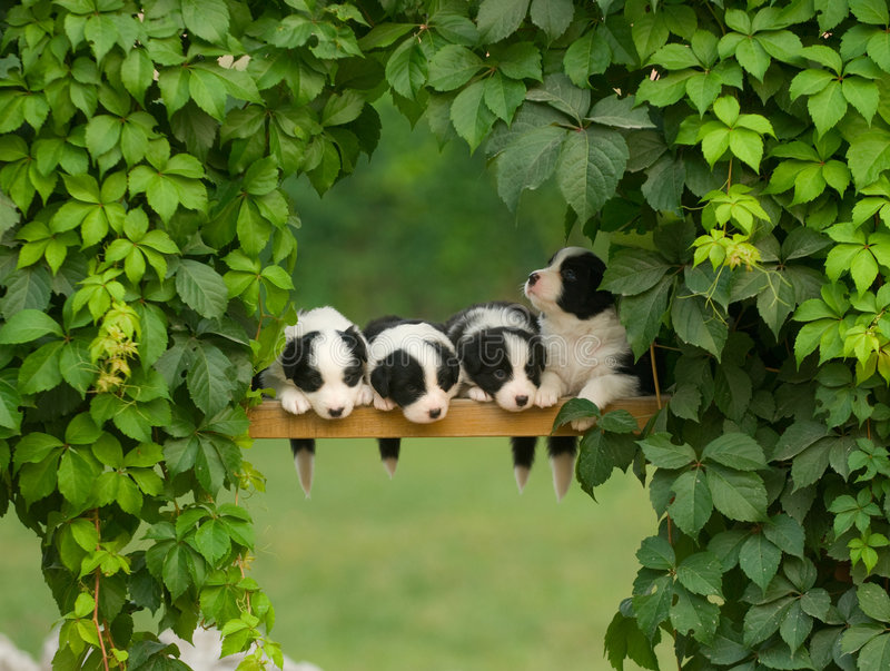 Dog. Row of cute little black and white puppies on a wooden rail surrounded with greenery