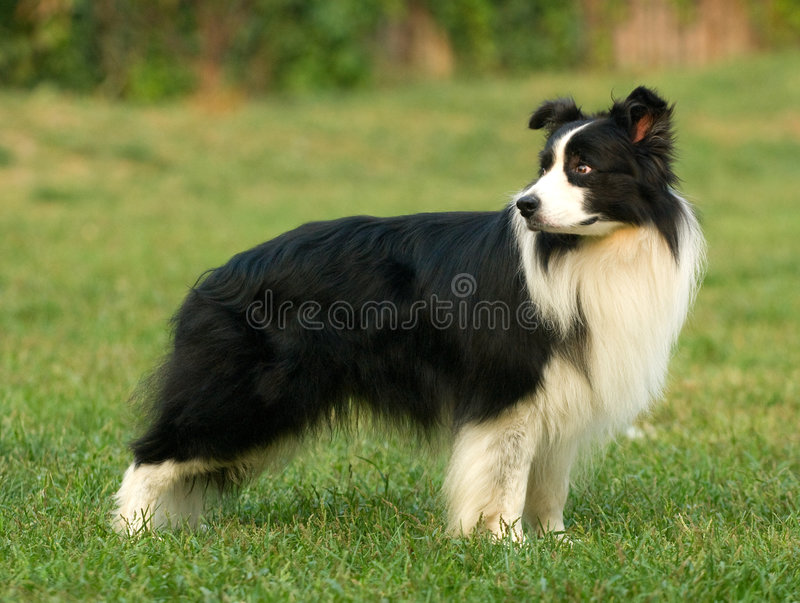 Download Collie Dog stock image. Image of lovely, white, cute, adorable - 4722897