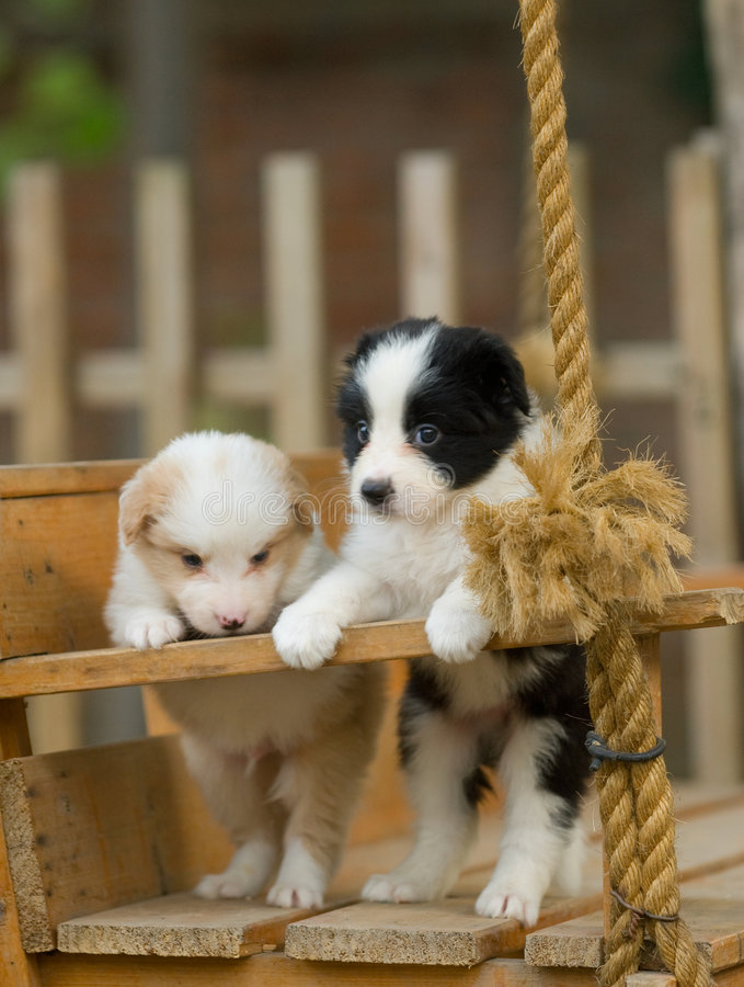 Dog. Puppies on a wooden swing