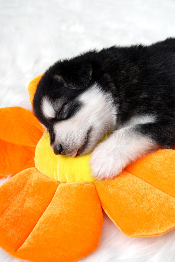 Dog. Puppy sleeping on sunflower toy pillow stock images