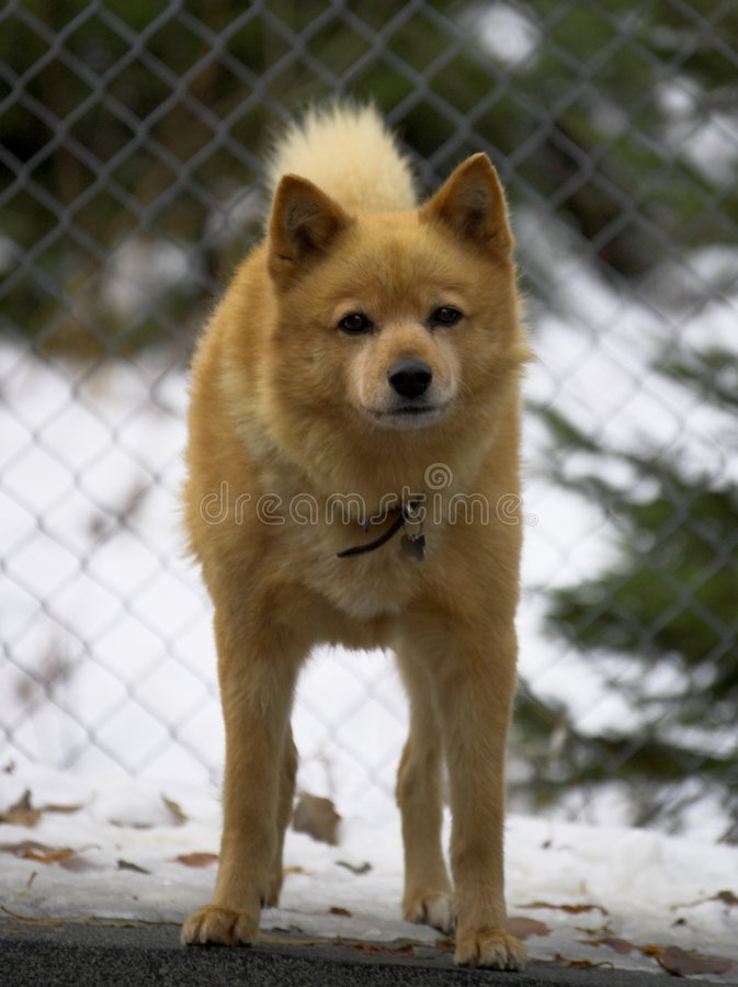 Download A Dog stock image. Image of ears, guard, alert, kennel - 5713605