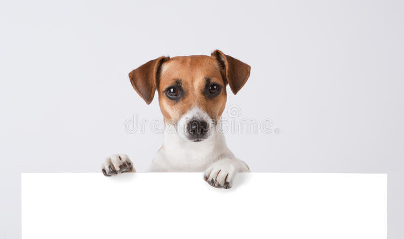 Dog above banner. Cute Jack Russell terrier with empty white banner stock images