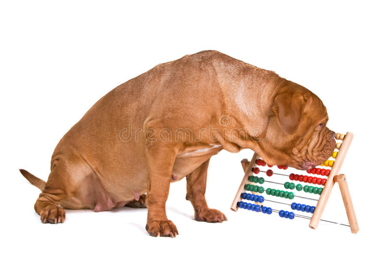 Dog Accounting royalty free stock images