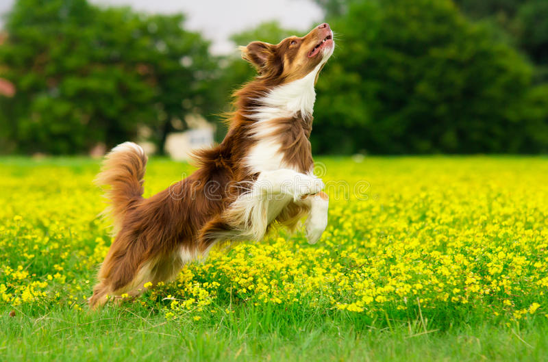 Jumping Dog. Dog in Action / Funny Dog stock images
