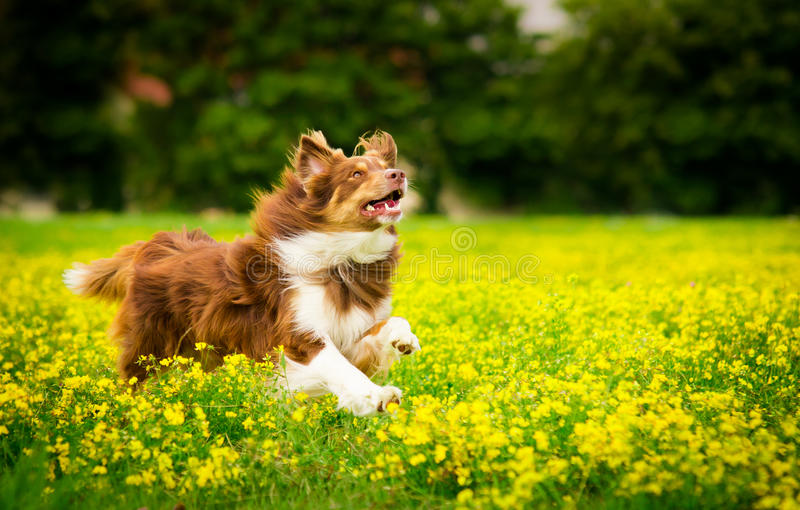 Running Dog. Dog in Action / Funny Dog royalty free stock photo
