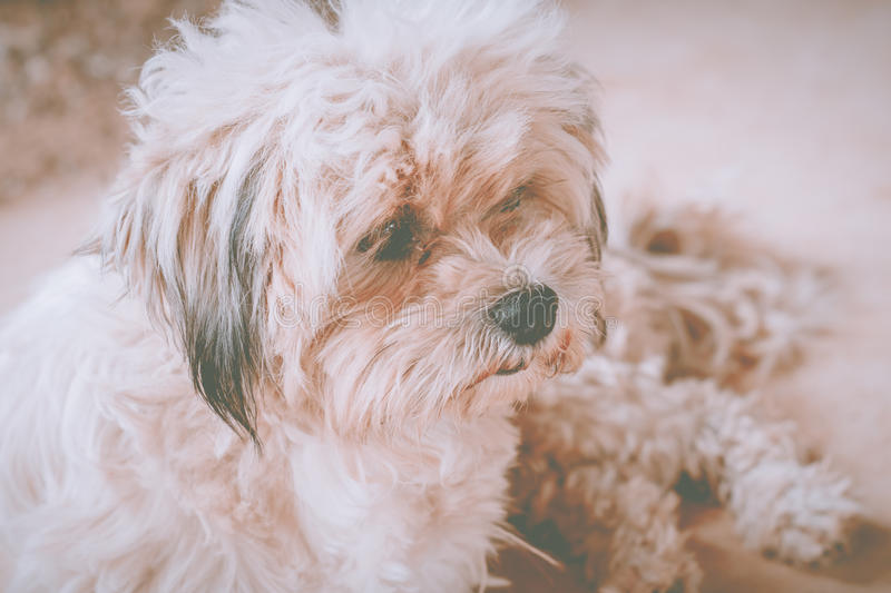 Dog. Adorable animals attractive beautiful bichon breed bright eyes brown charming cheerful cute doggy stock image