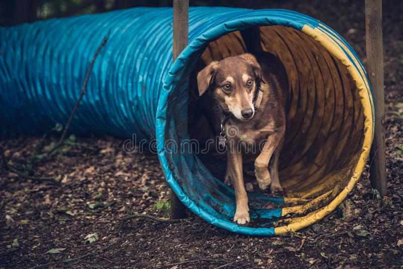 Dog in agility tunnel royalty free stock image