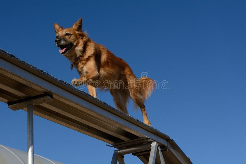 Dog agility dog walk. Golden red brown mixed breed dog running across dog walk in dog agility sport stock images