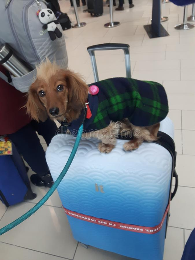 Dog at airport. Suitcase, travel, dachshind, dachshund royalty free stock photo