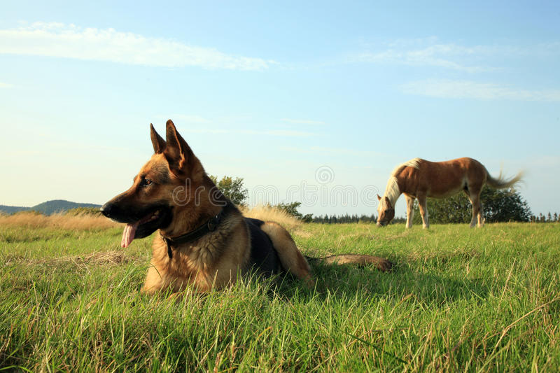 Download Dog - Alsatian stock image. Image of breed, grass, alsatian - 23818937