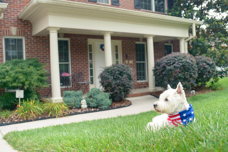 Dog in american flag scarf on driveway of luxury house. White terrier dog in american flag scarf waiting on driveway of luxury house royalty free stock image