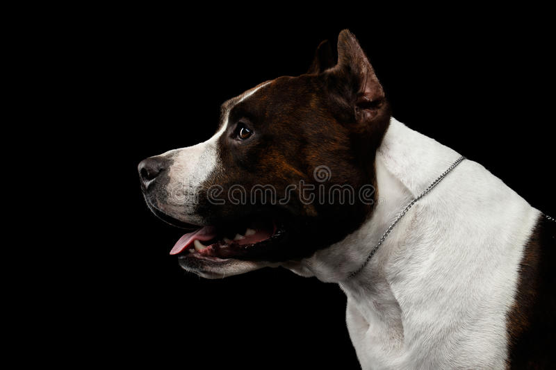 Dog american staffordshire terrier breed on isolated black background stock photo