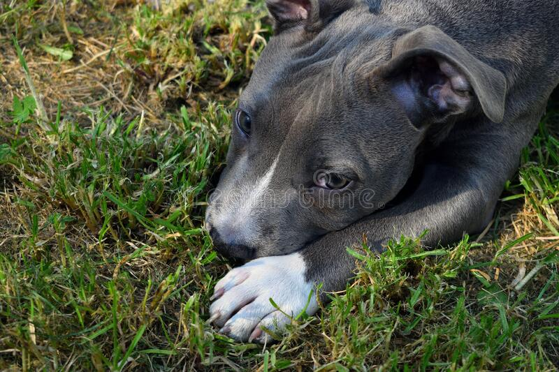 Dog american staffordshire terrier pitbull puppy amstaff. Pet stock images