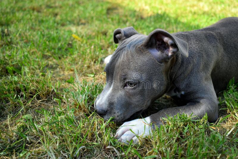 Dog american staffordshire terrier pitbull puppy amstaff. Pet royalty free stock image