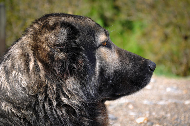 Dog. Anatolian shepherd dog, Turkey. Anatolian shepherd dog, Van, Turkey royalty free stock image