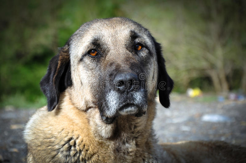 Dog. Anatolian shepherd dog, Turkey. Anatolian shepherd dog, Van, Turkey royalty free stock photo