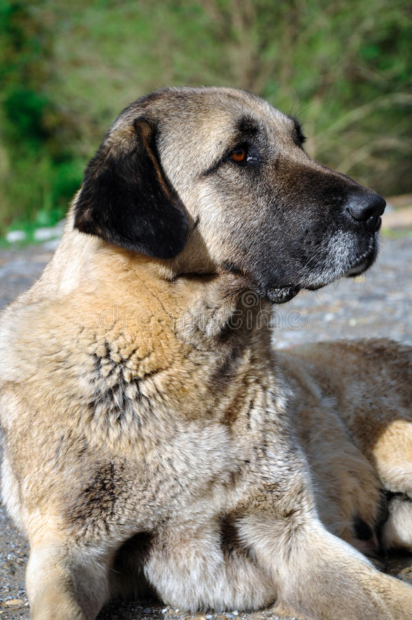 Dog. Anatolian shepherd dog, Turkey. Anatolian shepherd dog, Van, Turkey stock image