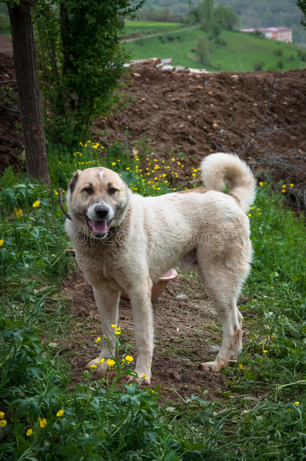Dog. Anatolian shepherd dog, Turkey. Anatolian shepherd dog, Van, Turkey stock photo