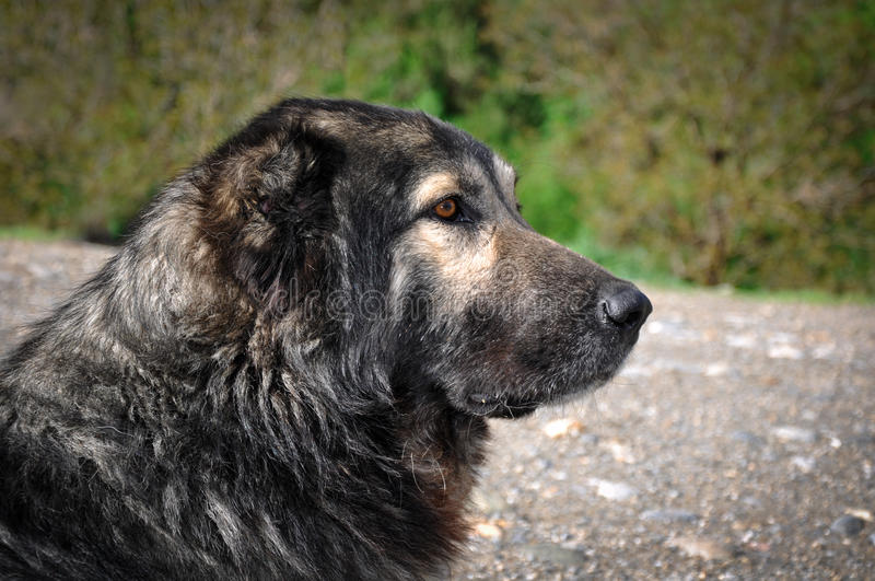 Dog. Anatolian shepherd dog, Turkey. Anatolian shepherd dog, Van, Turkey stock images