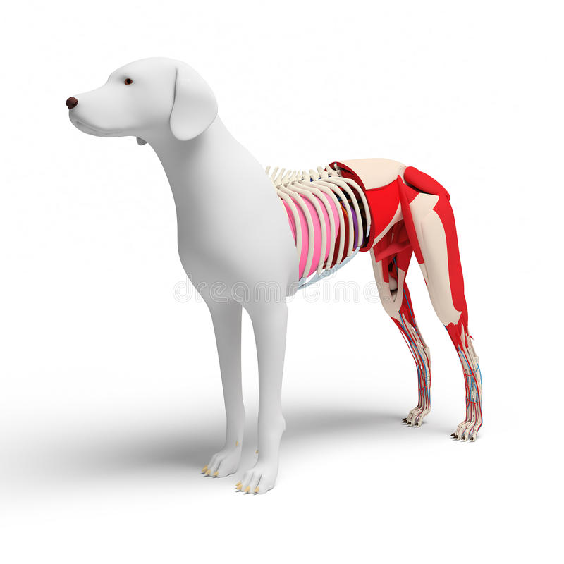 Dog Anatomy Cross Section On White Stock Illustration