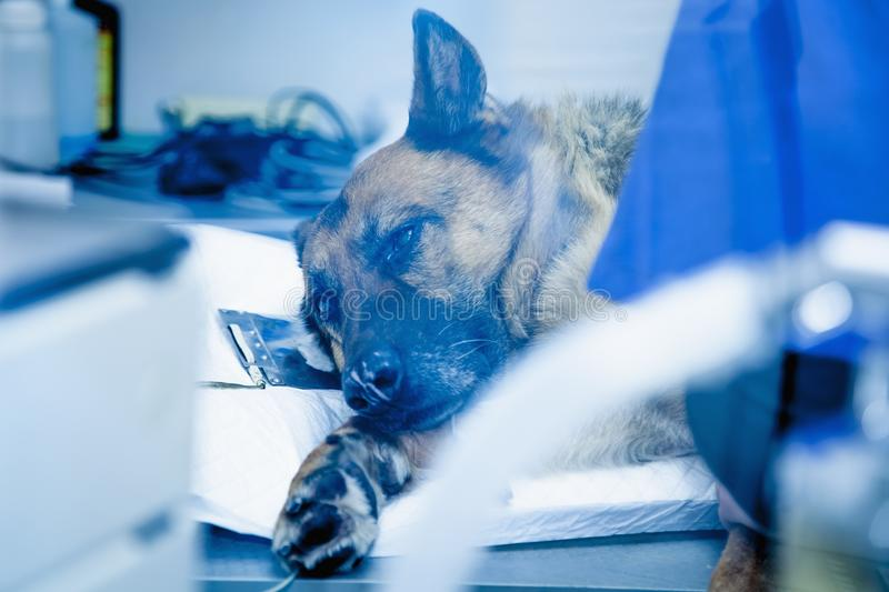 Dog in the animal hospital. German shepherd lying on the operating room before surgery. (Health, animal, hospital, treatment, med stock image