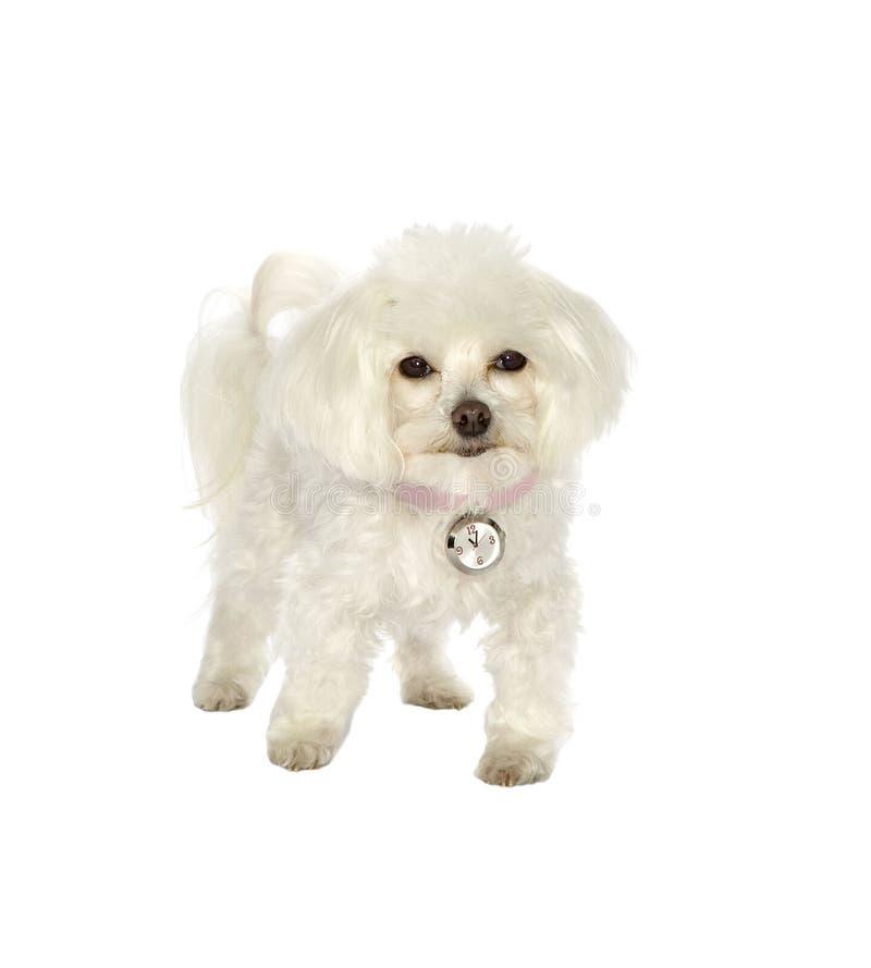 Download Dog, animal, pet stock image. Image of purebred, background - 10202829