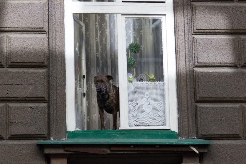 Dog anseendet på fönsterfönsterbräda och blickar utanför royaltyfria foton