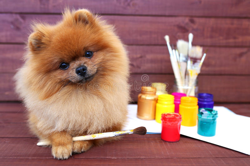 Dog artist. Beautiful pomeranian dog with paints and brushed on wooden background. Clever spitz royalty free stock photo
