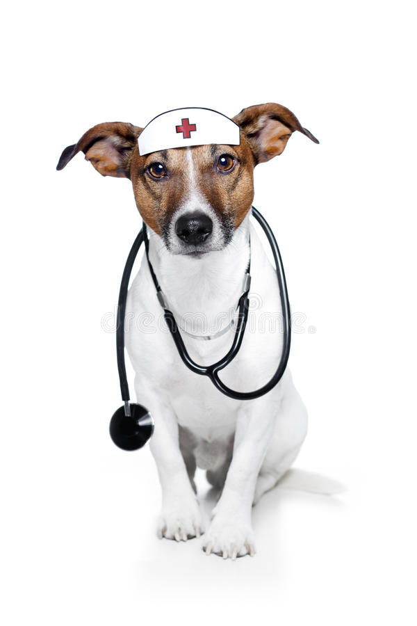 Dog as doctor. Dog as a nurse a stethoscope and looking stock photos