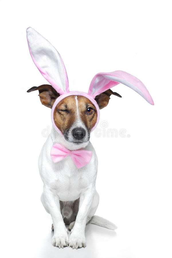 Dog as easter bunny. A dog dressed for easter royalty free stock photo