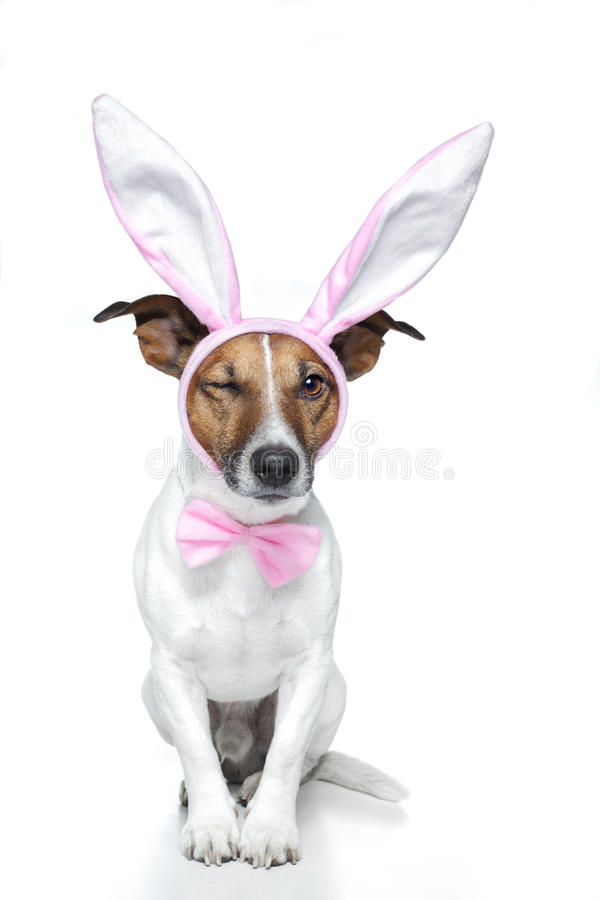Dog as easter bunny. A dog dressed for easter winking with on eye royalty free stock images