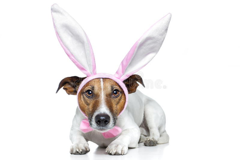 Dog as easter bunny. A dog dressed for easter stock image