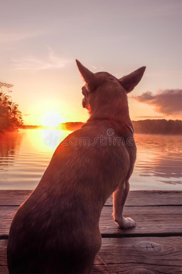 Free Dog At The Lake In Sunset. Chihuahua At Sunset Looks At The Sun On The River Stock Photos - 89377453