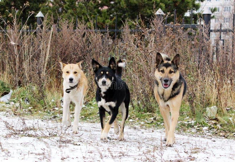 dog att gifta sig förutom den tre hundkapplöpningen i den öppna luften i vinter fotografering för bildbyråer
